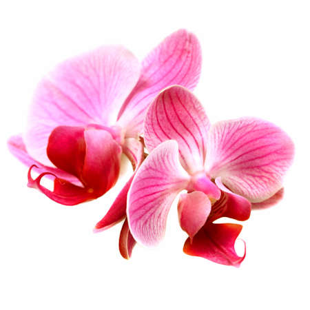 orchid isolated: Flower pink orchid - phalaenopsis  isolated over white