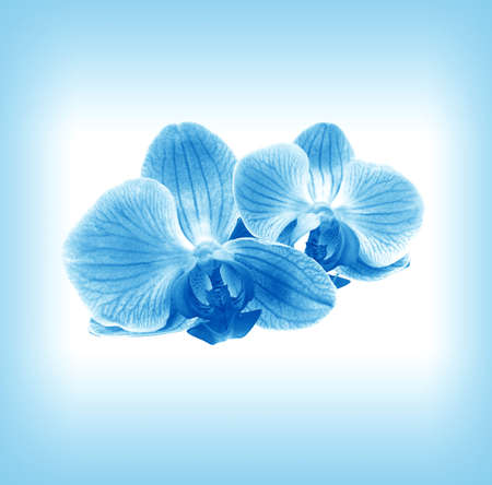 blue orchid: Flower two orchid - phalaenopsis   in blue mist Stock Photo