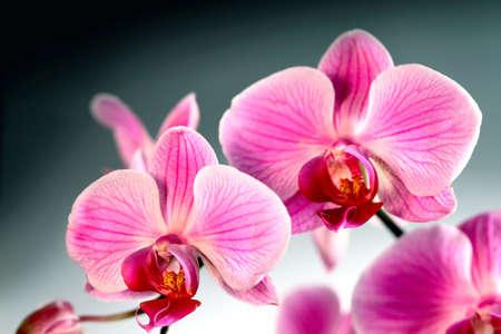 Flower beautiful pink orchid -  phalaenopsis photo