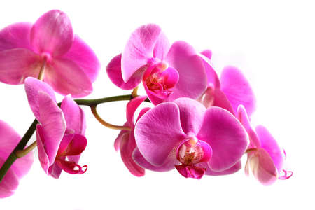 Flower beautiful pink orchid -  phalaenopsis  isolated  over white 스톡 콘텐츠