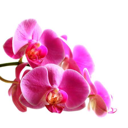 phalaenopsis: Flower beautiful pink orchid -  phalaenopsis  isolated  over white Stock Photo