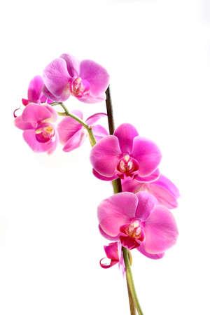 꽃 아름 다운 분홍색 난초 - 호 접 화이트 이상 격리 스톡 콘텐츠
