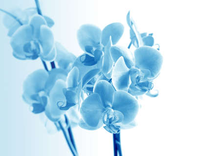 Flower beautiful   orchid -  phalaenopsis in blue color photo