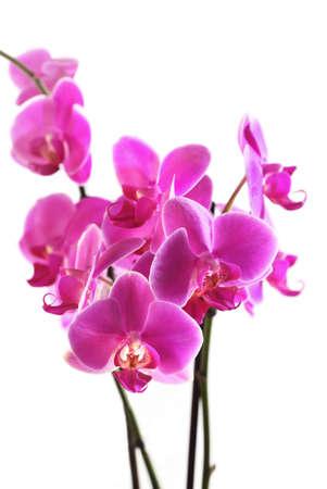 Blume schöne rosa Orchid - Phalaenopsis isoliert über white