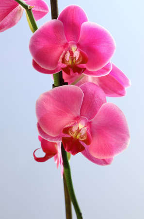 Flower beautiful pink orchid -  phalaenopsis Stock Photo - 6648752