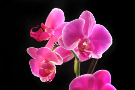 pink and black: Flower beautiful pink orchid -  phalaenopsis isolated over black