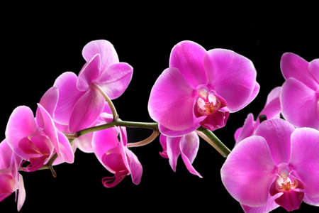 Flower beautiful pink orchid -  phalaenopsis isolated over black photo