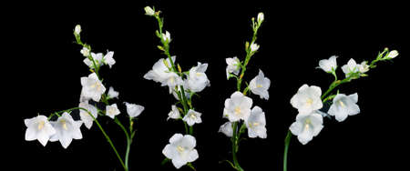 Flower  campanula isolated over black bvackground Stock Photo - 6648758