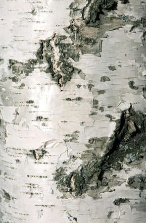 Bark of white birch close-up, natural texture photo