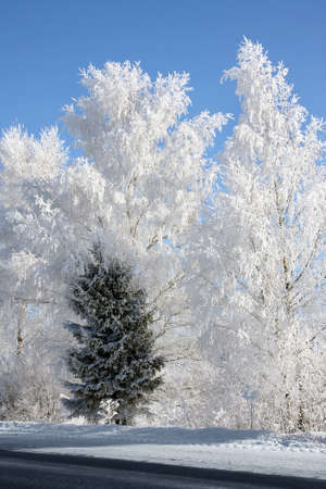 Winter landscape . Forest in hoarfrost . Birches and single fir tree photo