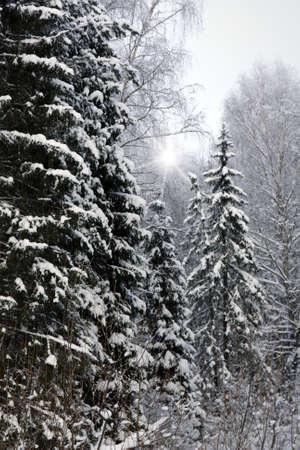 Winter landscape . Forest in hoarfrost photo