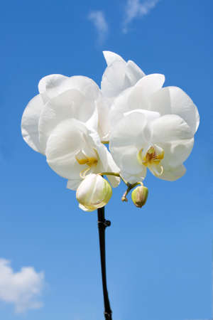 Flower beautiful white orchid -  phalaenopsis on background of sky photo