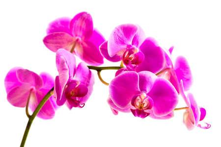 phalaenopsis: Flower beautiful pink orchid -  phalaenopsis isolated over white