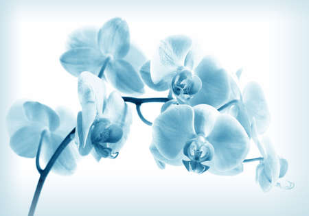 Flower beautiful pink orchid -  phalaenopsis in blue color