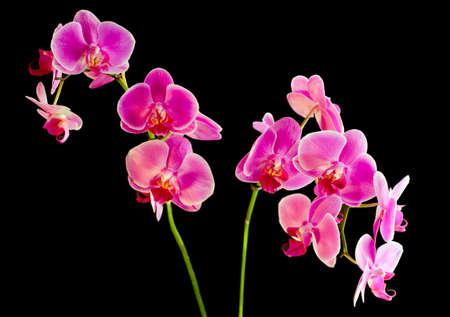 Flower beautiful pink orchid -  phalaenopsis  on black background Stock Photo - 8696654