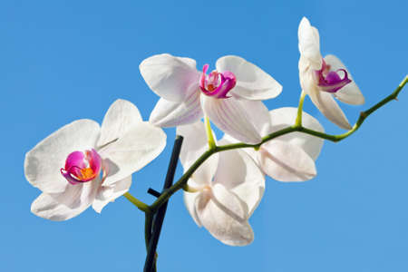 Flower beautiful white orchid -  phalaenopsis on background of sky Stock Photo - 8696642