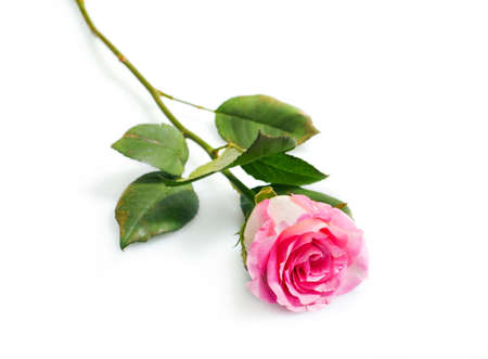 Flower beautiful pink   rose isolated over white photo