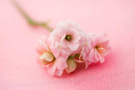 Fine flowersr roses on soft pink silk background, soft focus photo