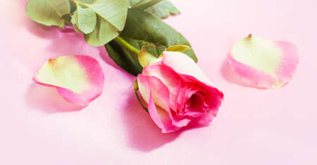Pink rose on a pink background and petals Stock Photo - 8756036