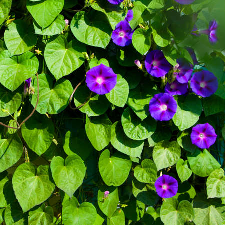 morning glory: Flowers morning glory in garden in a summer season Stock Photo