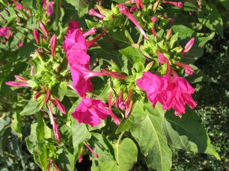 mirabilis: Flowers (mirabilis jalapa)  in garden in a summer season