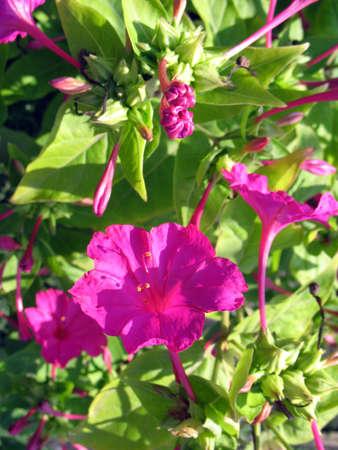 mirabilis: Fiori (mirabilis jalapa) nel giardino in una stagione estiva Archivio Fotografico