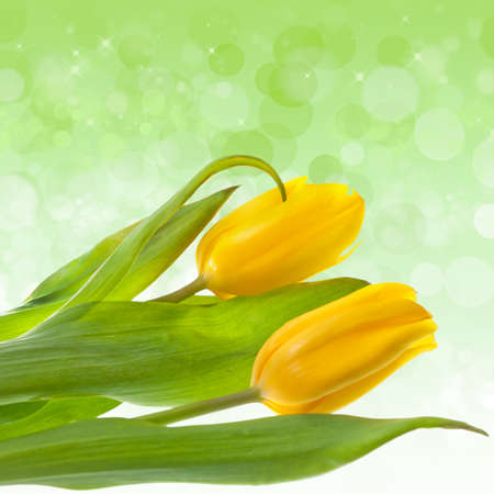 yelloow: Flower beautiful yelloow tulips close-up on green background Stock Photo