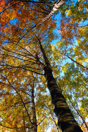 Yellow trees and skies in autumnal forest