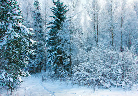 Beautiful nature, winter scenery - frosty trees in cold day   photo