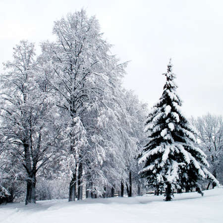 Winter landscape . Forest in a hoarfrost and snowdrift photo
