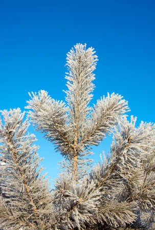 Winter landscape with  fir tree in sunny cold day Stock Photo - 11386529