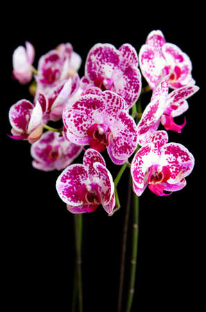 Beautiful flower  Orchid, phalaenopsis  on black background photo