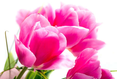 Beautiful flower  pink tulips isolated over white background Stock Photo - 12165619
