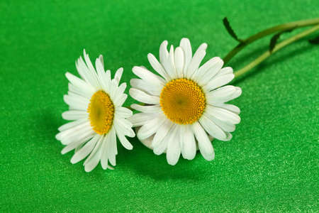 oxeye: Flower two camomile( ox-eye daisy) on green background