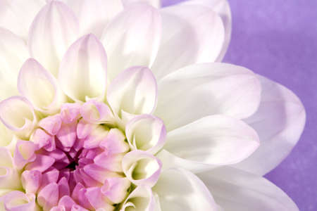 celebratory:  Flower white dahlia, macro shot , on lilac background Stock Photo