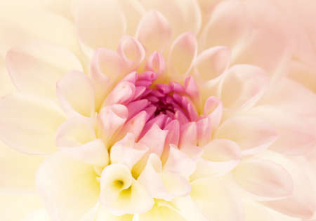 Flower  soft white - pink dahlia, macro shot   photo