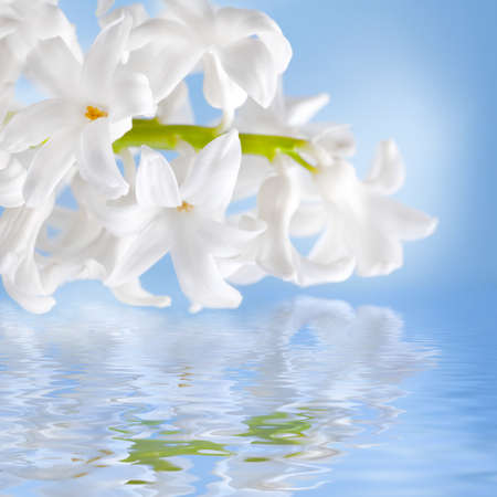 Beautiful flowers hyacinth, reflection in water, Stock Photo - 12699607