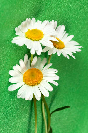 Blossoming beautiful  flower three ox-eye daisy on green  background photo