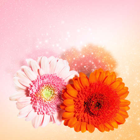 Blossoming beautiful two  flower gerbera - orange and pink color photo