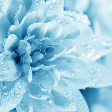 Blossoming beautiful  flower Chrysanthemum with water drops close -up Stock Photo