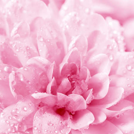 Blossoming beautiful  flower Chrysanthemum with water drops close -up photo