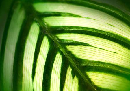 leaf close up: Green leaf  of home flowers close- up