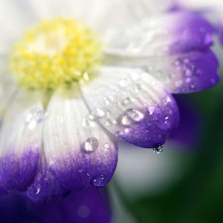 Blossoming beautiful  flower with water  drops close - up photo