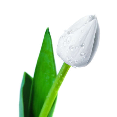 Blossoming beautiful  flower tulip with water drops Stock Photo - 12699519