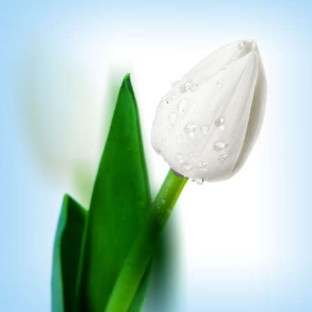 Blossoming beautiful  flower white  tulip with water drops photo