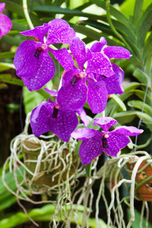 thai orchid: Blossoming flower exotic orchid Vanda in the Thai garden  in a summer season