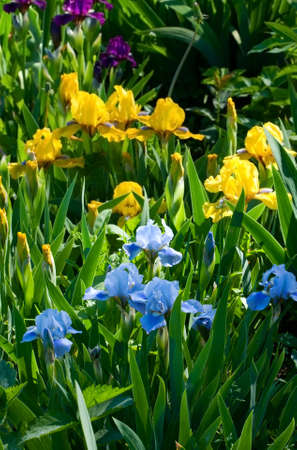 bulbar: Blossoming flower iris in the garden in a spring season Stock Photo