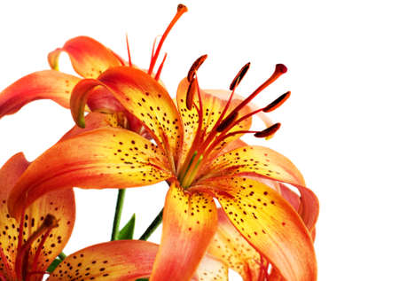 orange lily: Blossoming flowers  lily