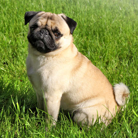 racy: Dog  Pug on green grass in a park Stock Photo