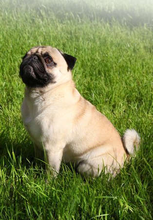 pug nose: Dog  Pug on green grass in a park Stock Photo